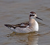 Red-necked Phalarope Stock Photo