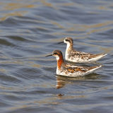 Red-necked Phalarope Royalty Free Stock Photography