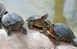 Red Necked slider turtle Royalty Free Stock Photo