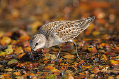 Red-necked Stint Stock Photography