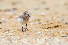 Red-necked Stint Royalty Free Stock Images