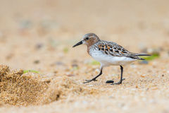 Red-necked Stint Royalty Free Stock Photo