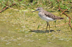 Red-necked Stint Royalty Free Stock Photos