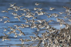 Red-necked Stint Stock Photo