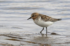 RED-NECKED STINT standing in the shallows spring Stock Image