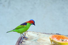 Red-necked tanager, a Brazilian colorful bird Stock Photography