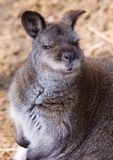 Red-necked wallaby Stock Photos