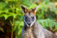 Red-necked Wallaby. Close-up of red-necked wallaby, Wilsons Promontory National Park, Australia Royalty Free Stock Image