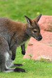 Red-necked wallaby Royalty Free Stock Photography