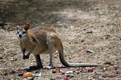 Red Necked Wallaby. A Red Necked Wallaby royalty free stock image