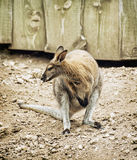Red-necked wallaby or Bennett's wallaby (Macropus rufogriseus) Stock Images