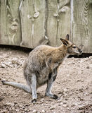 Red-necked wallaby or Bennett's wallaby - Macropus rufogriseus Royalty Free Stock Photos