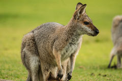 Red-necked Wallaby. In Bunya Mountains National Park,  Queensland Australia Royalty Free Stock Photo