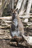 Red-necked Wallaby Royalty Free Stock Photos