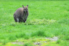 Red-necked wallaby Stock Images