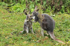Red-necked wallaby family Stock Image