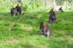 Red-necked wallaby on grass Stock Photos