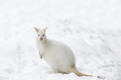 Red-necked Wallaby In Snowy Winter Stock Photos
