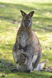 Red-necked wallaby and its joey Royalty Free Stock Photography