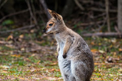 Red-necked Wallaby. Joey on the alert on a clearing in Bunya Mountains, QLD, Australia Royalty Free Stock Images