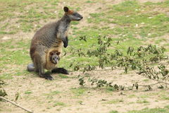 Red-necked wallaby Royalty Free Stock Photo