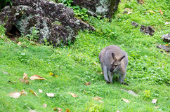 Red-necked Wallaby,kangaroo Royalty Free Stock Photography