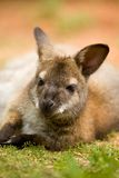 Red-necked wallaby lying on green grass. In a zoo Stock Image