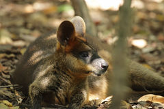 Red-necked Wallaby (Macropus rufogriseus) Stock Image