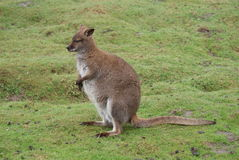 Red-necked Wallaby - Macropus rufogriseus Stock Images