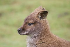 Red-necked Wallaby - Macropus rufogriseus Stock Image