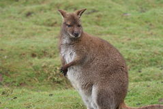 Red-necked Wallaby - Macropus rufogriseus Stock Photo