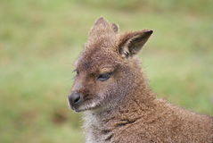 Red-necked Wallaby - Macropus rufogriseus Royalty Free Stock Images