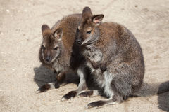 Red-necked wallaby (Macropus rufogriseus), also known as the Ben Stock Images