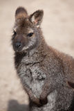 Red-necked wallaby (Macropus rufogriseus), also known as the Ben Stock Photography
