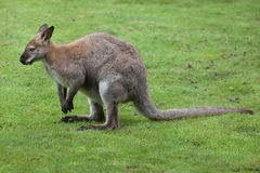 Red-necked wallaby Macropus rufogriseus Stock Image