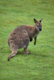 Red-necked wallaby Macropus rufogriseus Royalty Free Stock Images