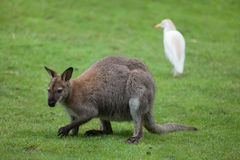 Red-necked wallaby Macropus rufogriseus Royalty Free Stock Image
