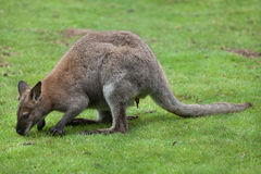 Red-necked wallaby Macropus rufogriseus Stock Photos