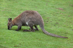 Red-necked wallaby Macropus rufogriseus Stock Photo