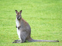 Red-necked Wallaby (Macropus rufogriseus) Royalty Free Stock Images