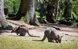 Red-necked wallaby (Macropus rufogriseus) Royalty Free Stock Photo