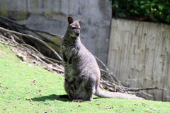 The red-necked wallaby Royalty Free Stock Images