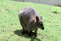 The red-necked wallaby Royalty Free Stock Photo