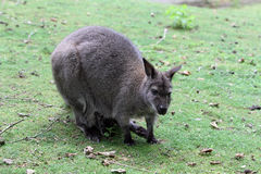 The red-necked wallaby Royalty Free Stock Photography