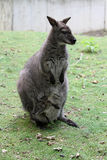 The red-necked wallaby Stock Photography