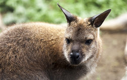 Red Necked Wallaby. (Macropus Rufogriseus.) Stock Photos