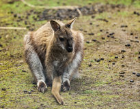 Red Necked Wallaby. (Macropus Rufogriseus.) Stock Image