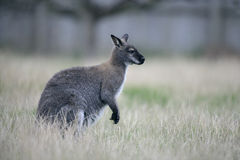 Red-necked wallaby, Macropus rufogriseus Stock Photos