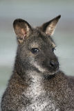 Red-necked wallaby,  Macropus rufogriseus, Royalty Free Stock Photo