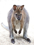 Red-necked Wallaby (Macropus rufogriseus) Stock Photography